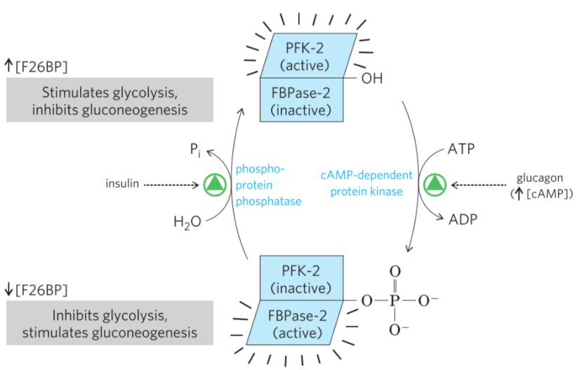 5  Regulation and disorders of carbohydrate metabolism
