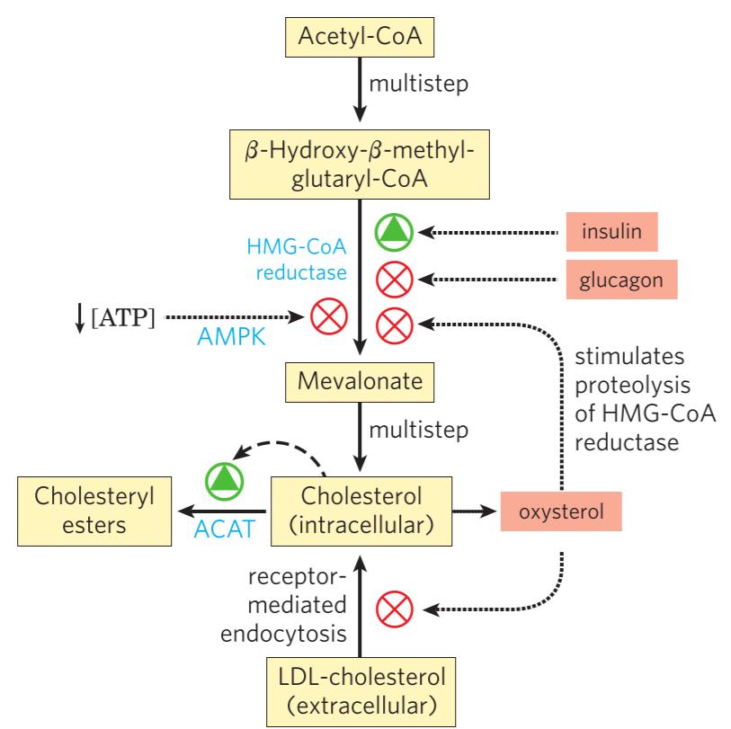 9  synthesis of cholesterol and ketone bodies  u2013 greek doctor