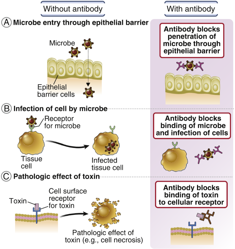 13. Effector Functions Of Antibodies