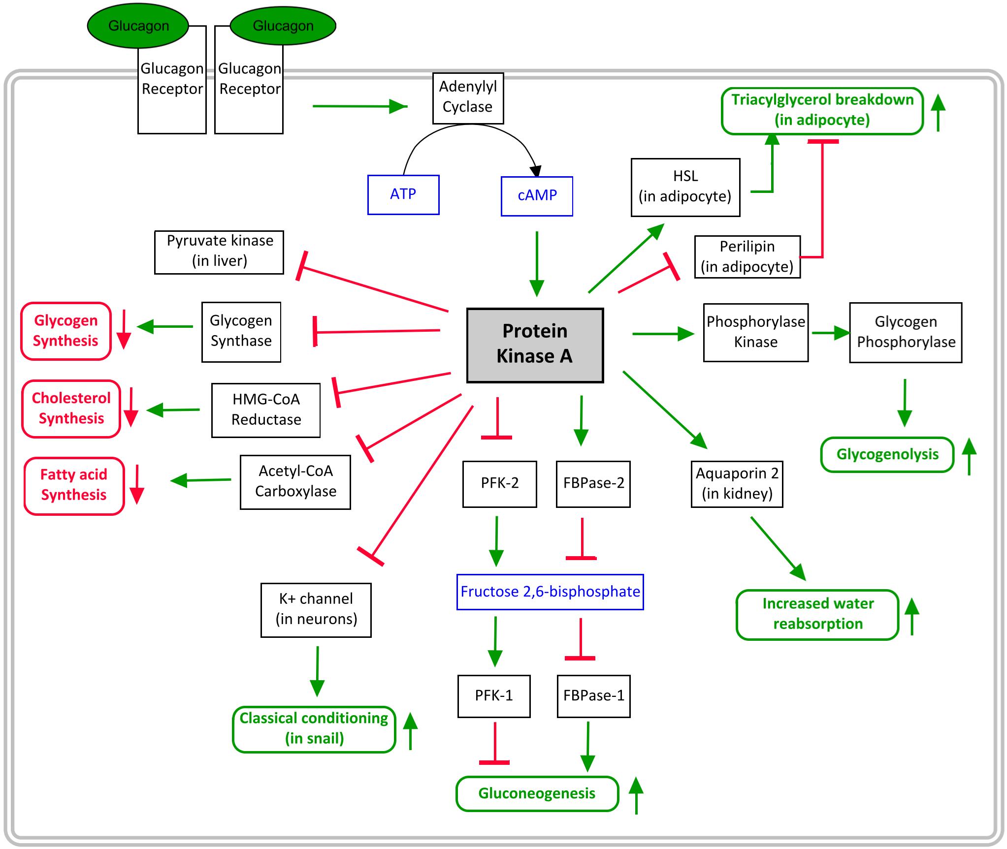 PKA pathway