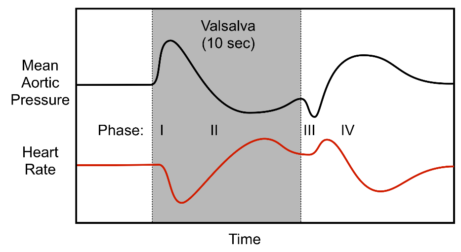 hemodynamics of a Valsalva maneuver